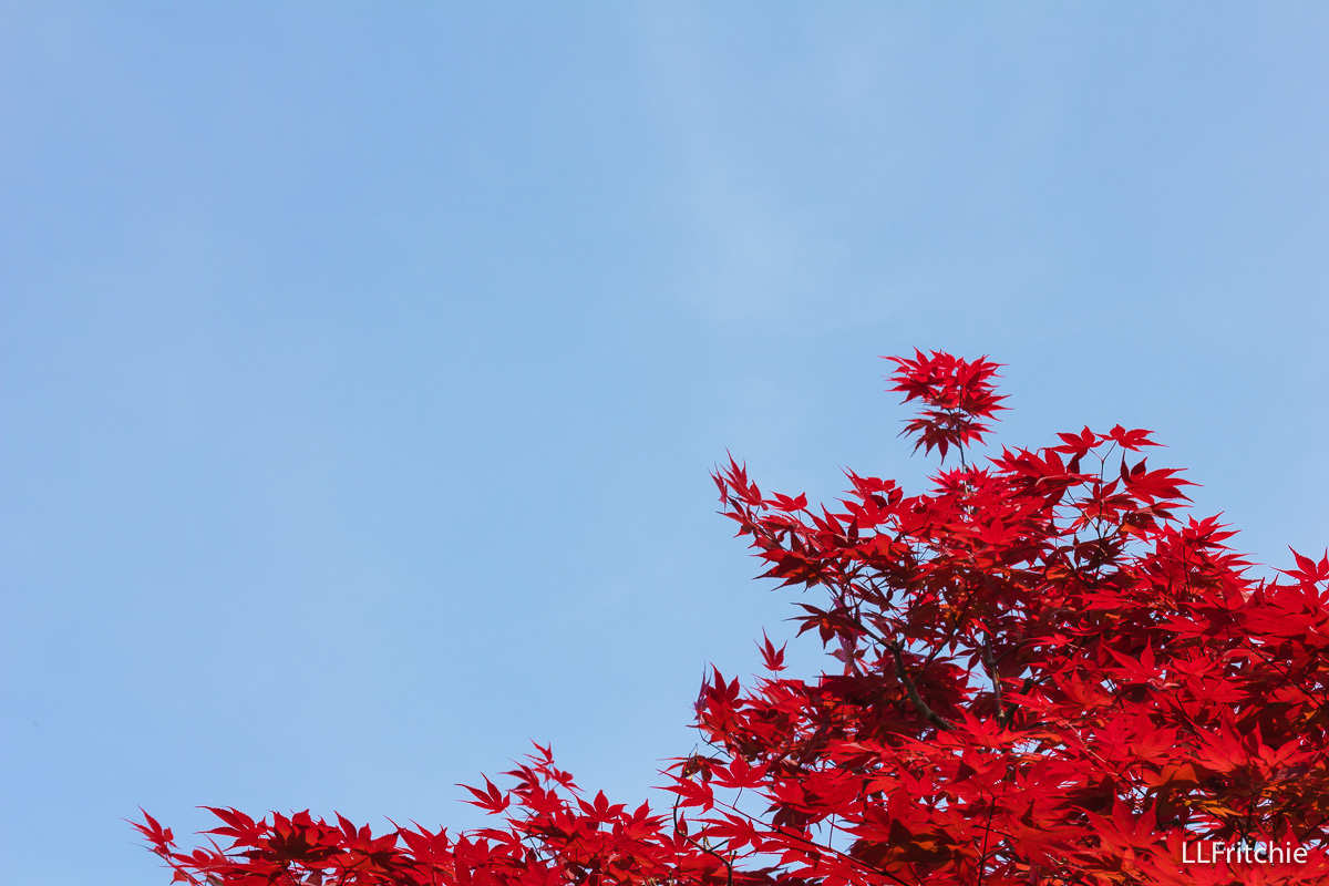 Photo of red maple leaves against a brilliant blue sky.