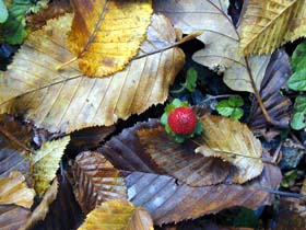 [photo of a strawberry amidst a background of fallen leaves]